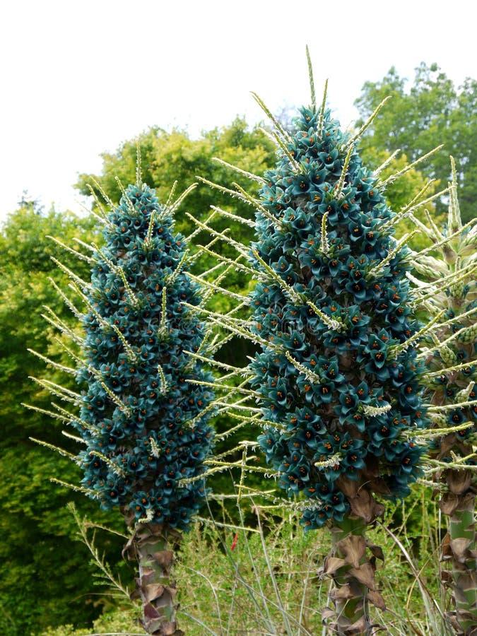 Jardin subtropical : fleurs bleues de bromeliad de puya photographie stock libre de droits