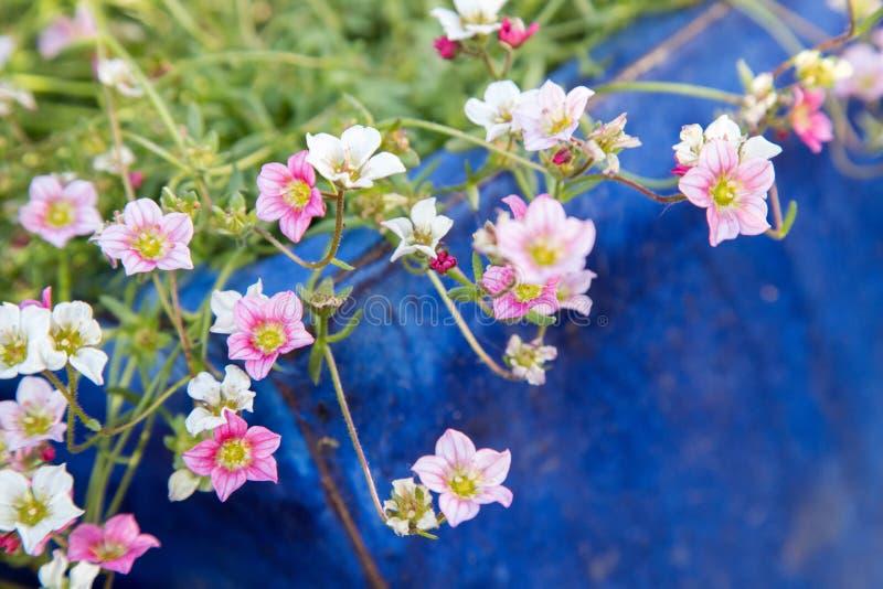 Jardinage au printemps : Fleurs blanches et roses mignonnes dans un pot bleu photo libre de droits