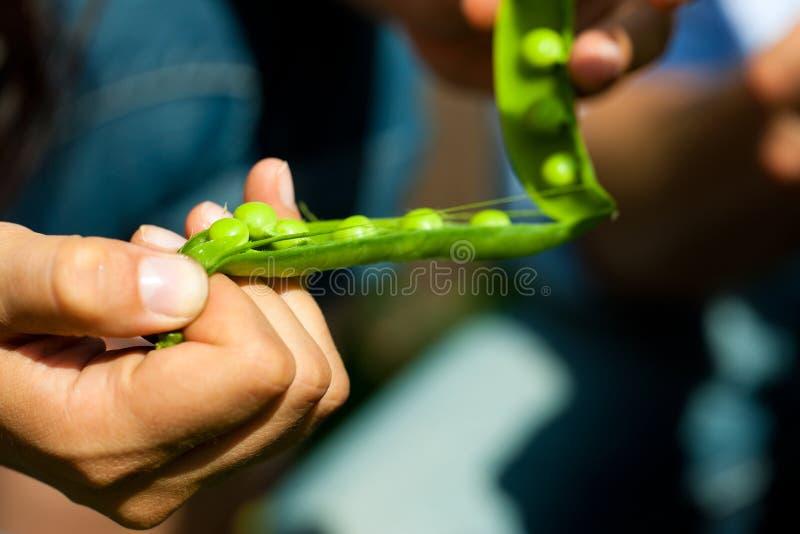 Jardinage en été - femme moissonnant des becs d'ancre photo libre de droits
