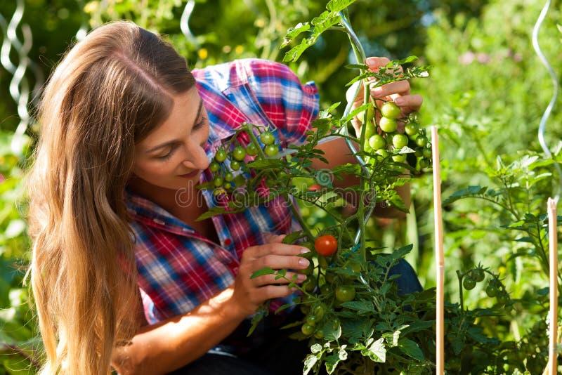 Jardinage en été - femme moissonnant des tomates photographie stock