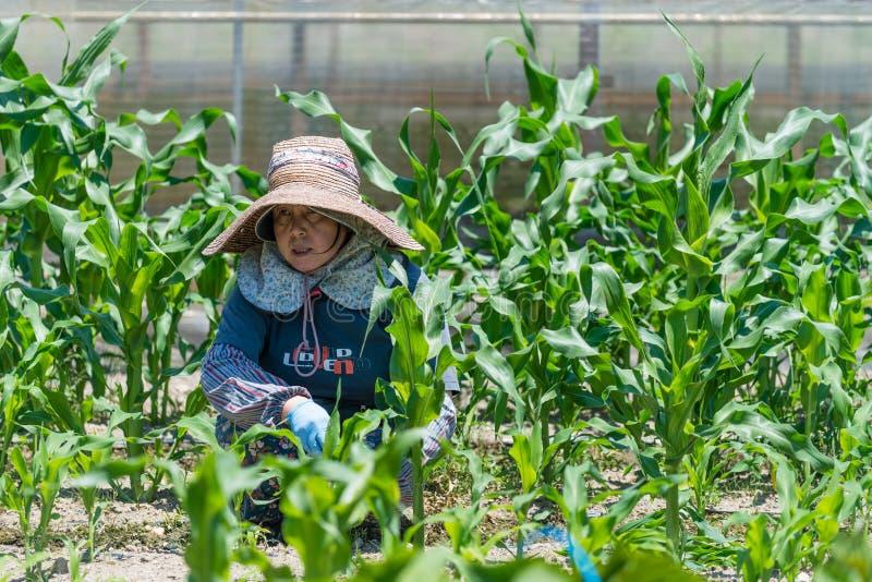 Jardinage japonais plus âgé de femme photographie stock