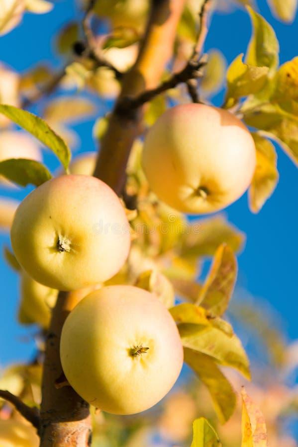 Jardinagem e colheita A maçã orgânica colhe a exploração agrícola ou o jardim Estação da colheita de maçãs do outono Conceito ric foto de stock