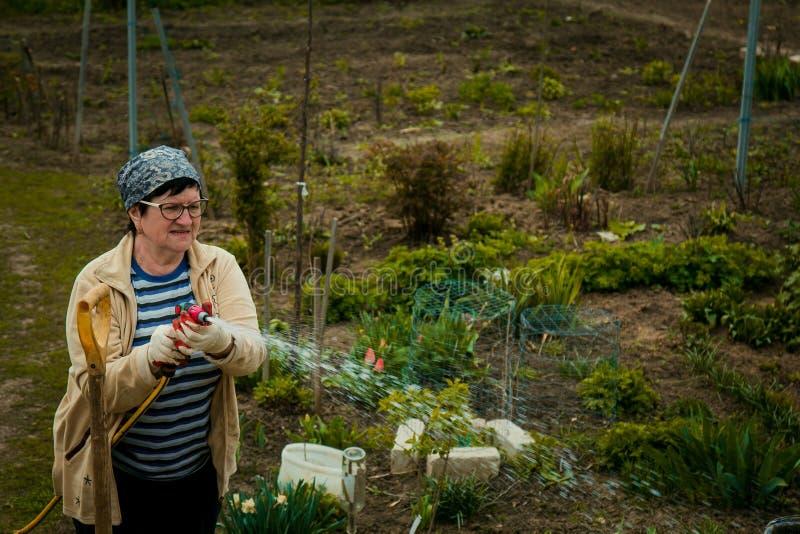 Jardinagem e conceito dos povos - gramado molhando da mulher superior feliz pela mangueira de jardim no outono imagem de stock royalty free