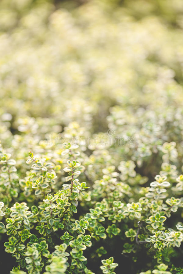 Jardinagem orgânica, plantas da erva do tomilho fotografia de stock