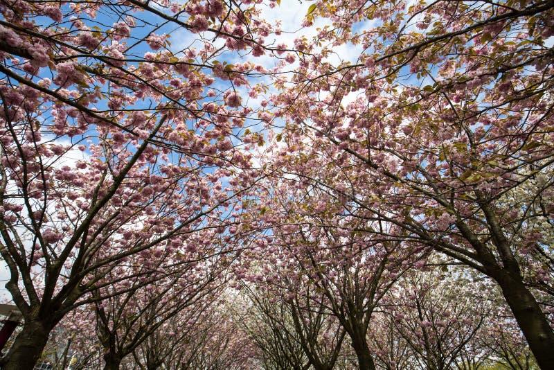 Jardine com as árvores de florescência inspiradas por pinturas de Van Gogh entre o museu de Van Gogh e o Rijksmuseum em um dia de fotos de stock royalty free