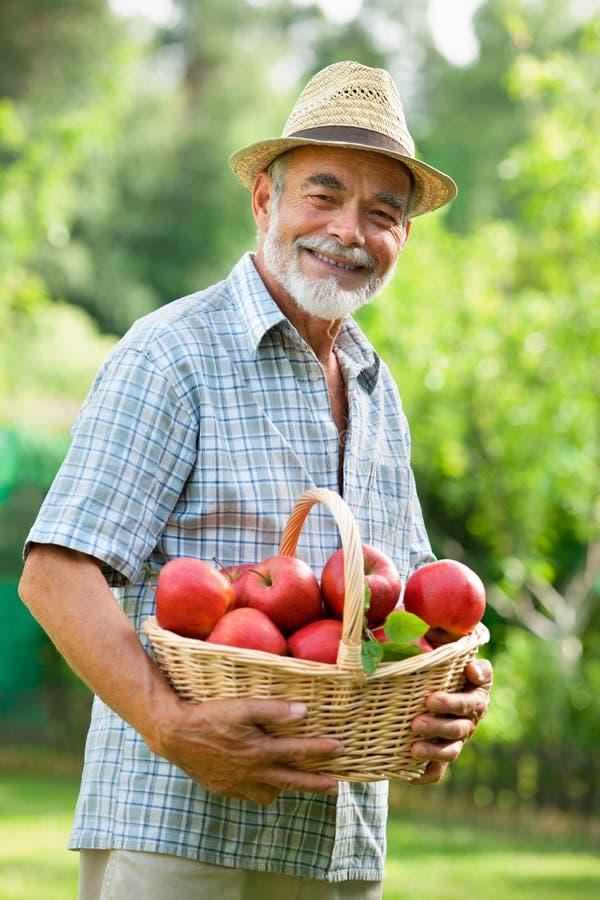 Jardineiro com uma cesta de maçãs maduras fotos de stock royalty free