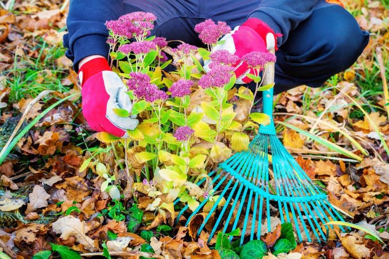 Jardineiro em flores do outono fotografia de stock