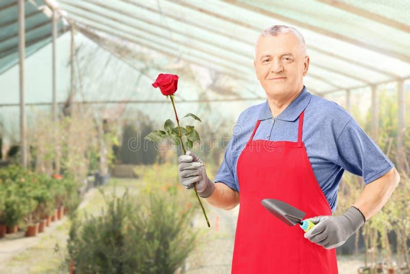 Jardineiro masculino que guarda uma flor da rosa e que levanta em uma estufa imagem de stock