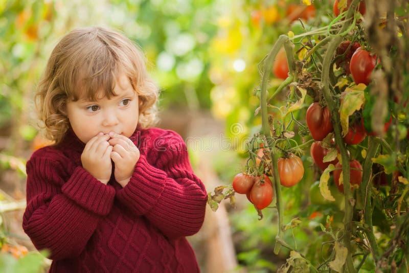 Jardineiro pequeno infeliz, doença Phytophthora Infestans do tomate Os tomates vermelhos maduros ficam doente pela ferrugem atras imagens de stock royalty free