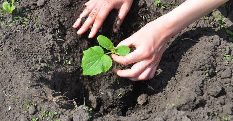 Jardineiro Planting Cucumber Plant na mola imagem de stock royalty free