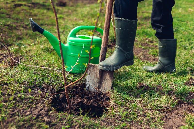 Jardineiro que planta a árvore no jardim da mola usando a pá Fazendeiro que trabalha fora fotos de stock royalty free