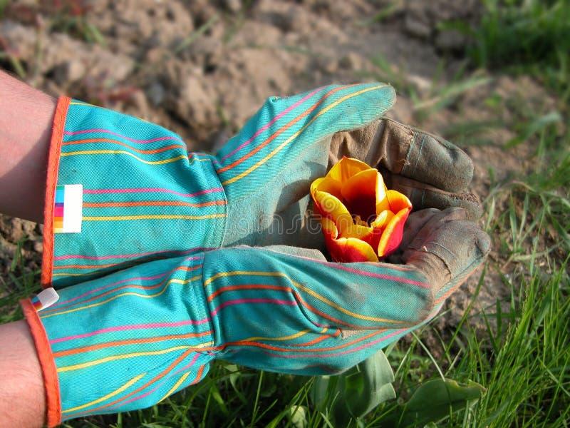 Jardineiro que protege um tulip foto de stock royalty free