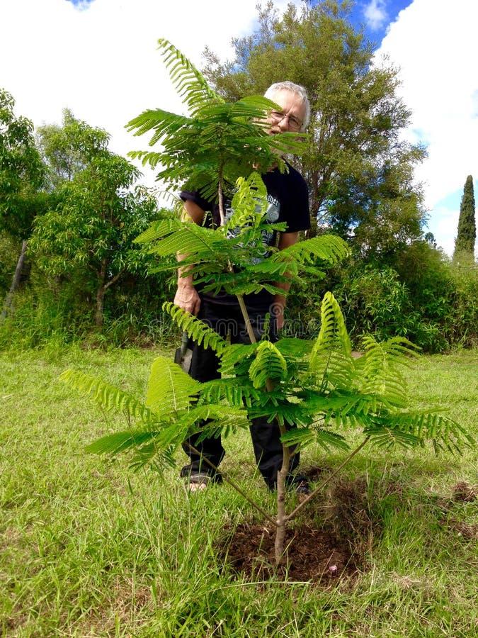 Jardineiro superior orgulhoso após ter plantado a árvore nova de Poinciana fotografia de stock