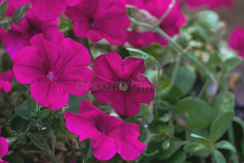 Jardinera de petunias del color magenta imagenes de archivo
