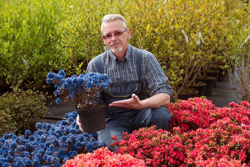 Jardinerie de directeur près de la fenêtre de magasin avec des fleurs Il tient un pot de fleur images libres de droits