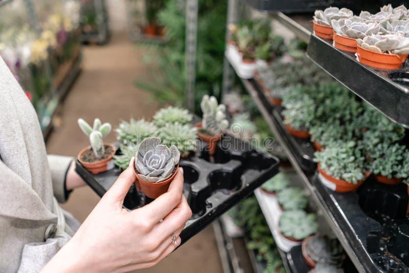 Jardinerie et concept en gros de fournisseur Foyer sélectif sur des succulents dans des pots dans les mains de la femme Centrales images stock