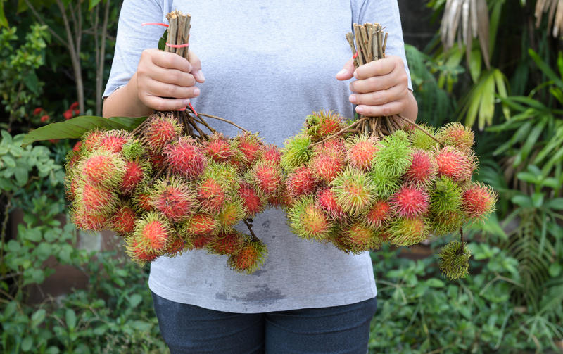 Jardinero asiático con la fruta fresca (fruta del rambutan de Tailandia) foto de archivo