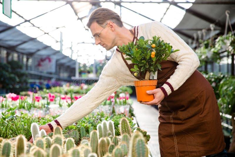 Jardinero con el pequeño árbol de mandarina que toma el cuidado de plantas imagen de archivo