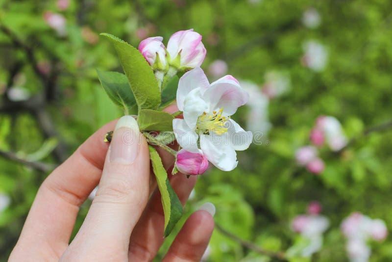 Jardinero de la señora que sostiene la ramita floreciente de la manzana fotografía de archivo libre de regalías