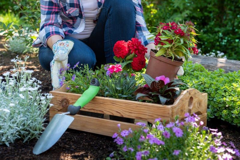 Jardinero de sexo femenino irreconocible que sostiene el cajón de madera lleno de flores listas para ser plantado en su jardín Ja foto de archivo