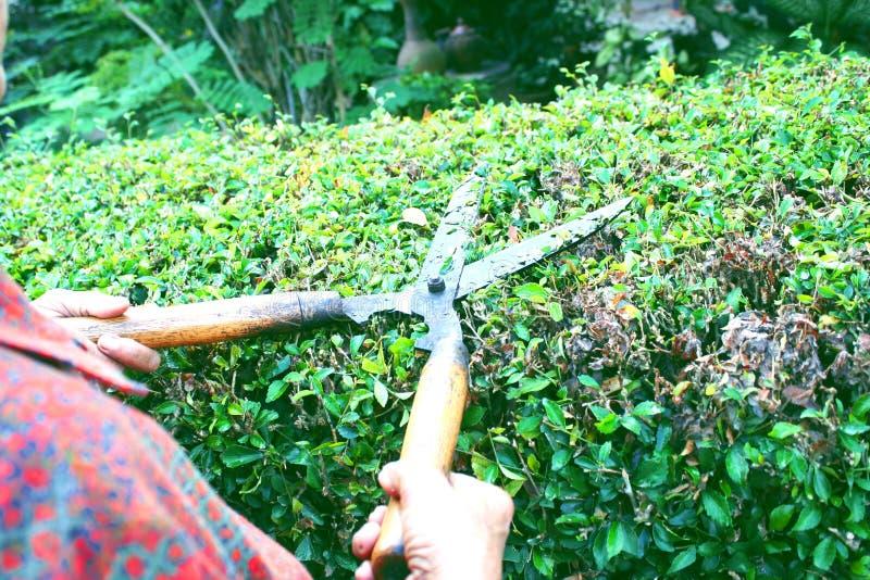 Jardinero que corta la cerca del té de Hokkien con esquileos de la hierba fotos de archivo libres de regalías