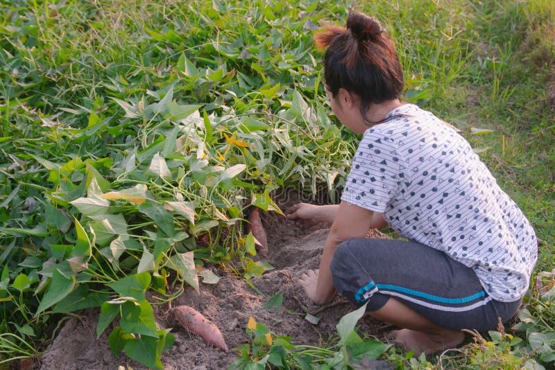 Jardinero que cosecha la patata dulce en el jardín imagen de archivo