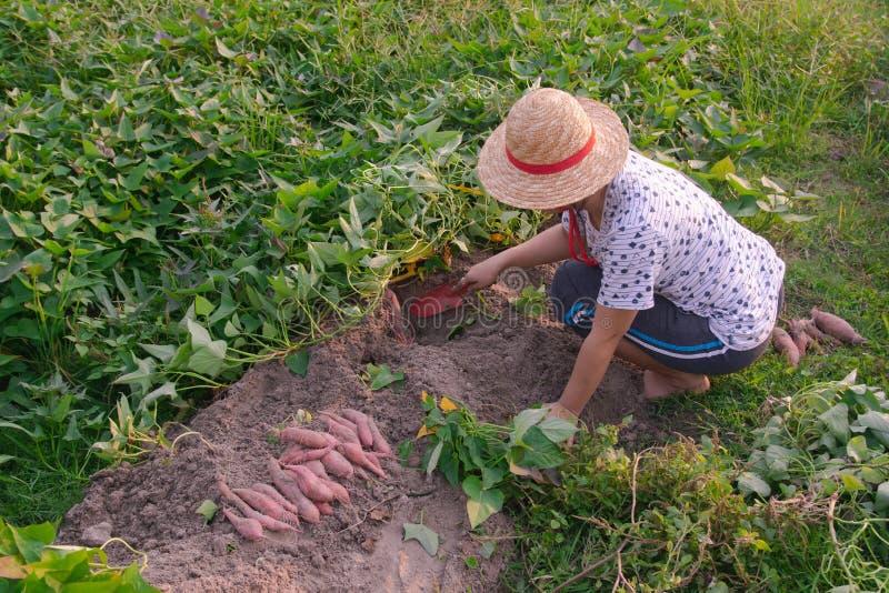 Jardinero que cosecha la patata dulce en el jardín imágenes de archivo libres de regalías