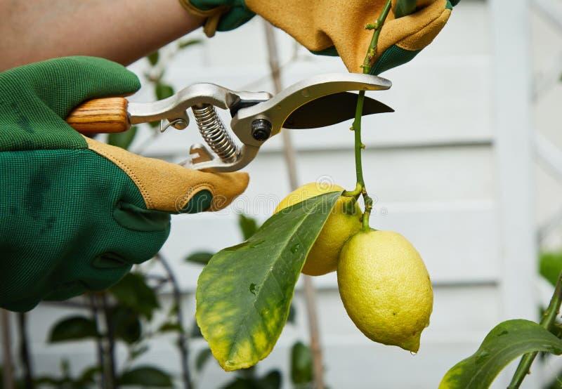 Jardinero que escoge los limones amarillos maduros de un árbol imagen de archivo libre de regalías