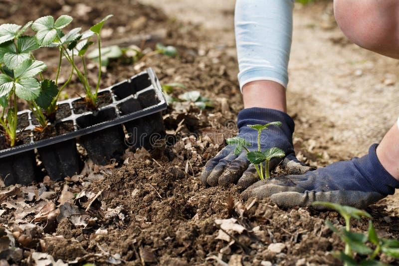 Jardinero que planta alm?cigos de la fresa en camas recientemente aradas del jard?n imagenes de archivo
