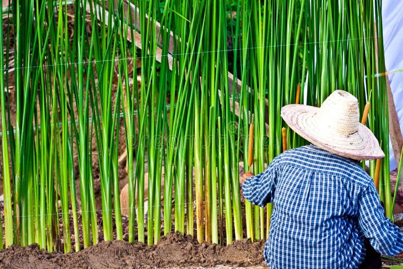 Jardinero que planta la hierba fotos de archivo libres de regalías