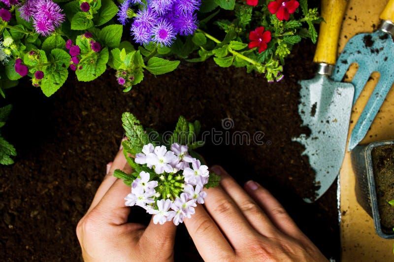 Jardinero que planta las flores en la primera persona del suelo fotografía de archivo libre de regalías