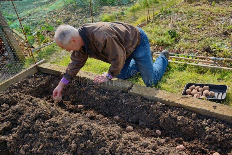 Jardinero que planta las patatas imagenes de archivo