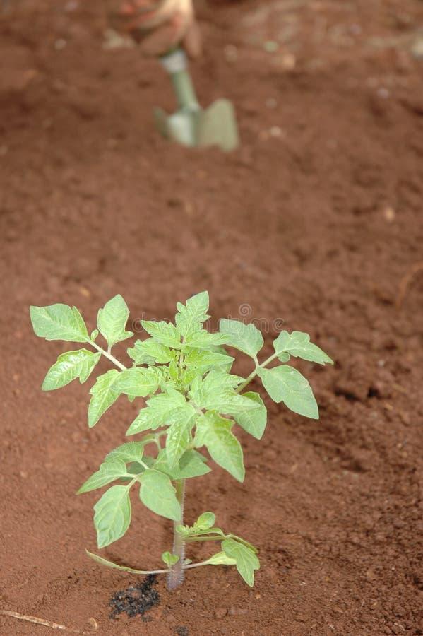 Jardinero que planta plantas de semillero imagenes de archivo