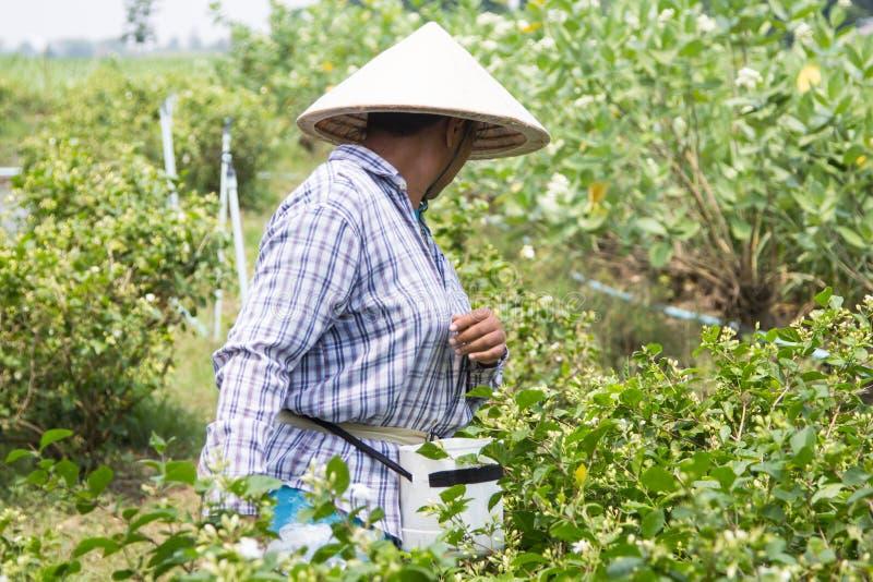 Jardineros del jazmín imagen de archivo