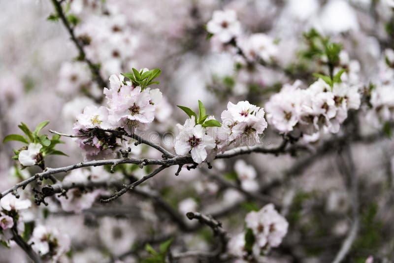Jardines de la almendra, huerta de la almendra en la floración, llanos Israel de Judea imagen de archivo