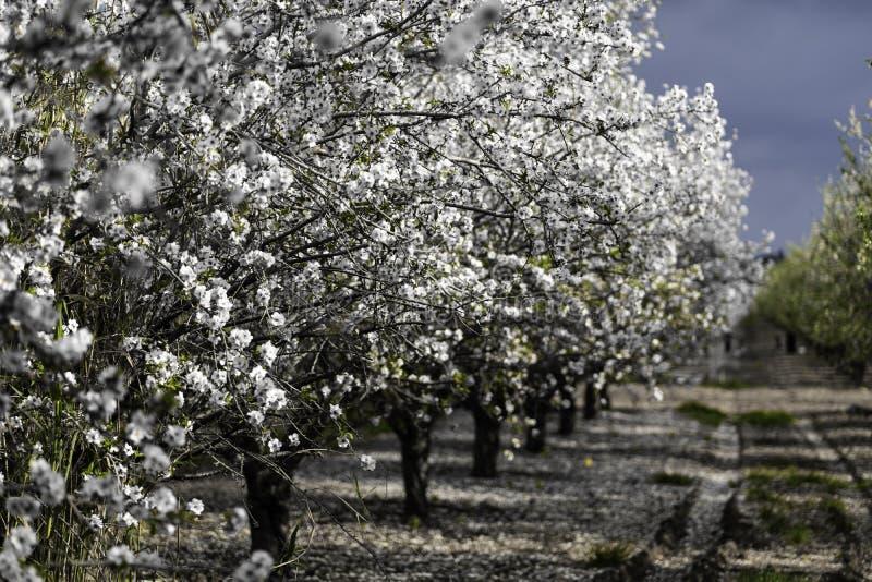 Jardines de la almendra, huerta de la almendra en la floración, llanos Israel de Judea imágenes de archivo libres de regalías
