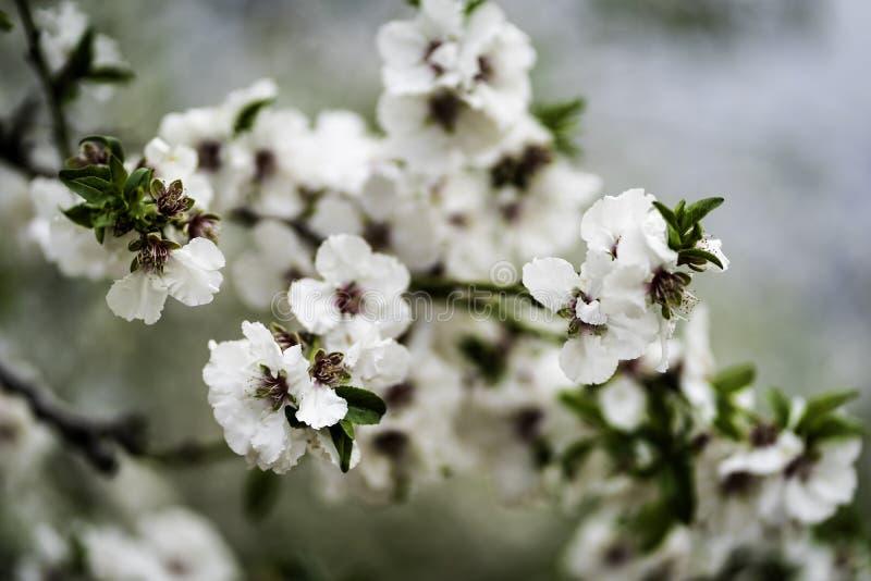 Jardines de la almendra, huerta de la almendra en la floración, llanos Israel de Judea fotografía de archivo libre de regalías