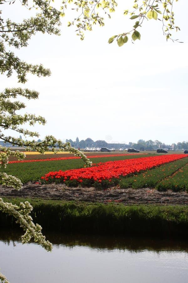 Jardines de llegada de Keukenhof de los coches, bulbfields holandeses foto de archivo