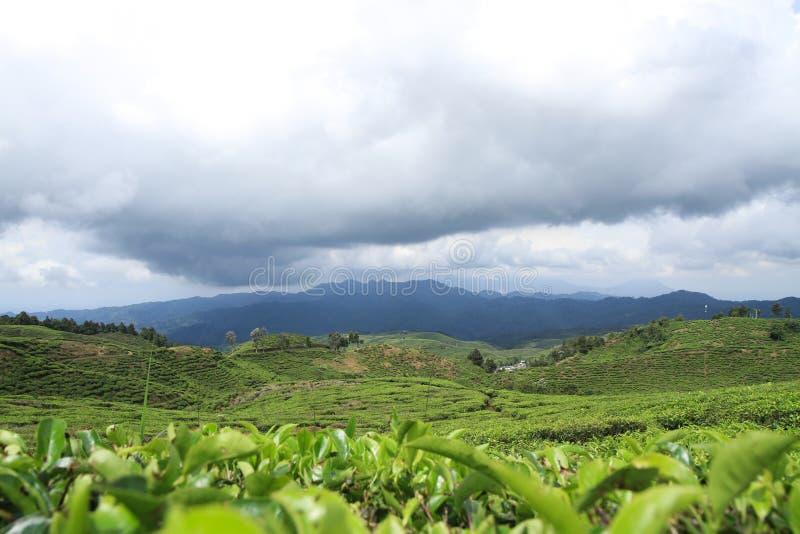 Jardines de té del paisaje para el fondo imágenes de archivo libres de regalías