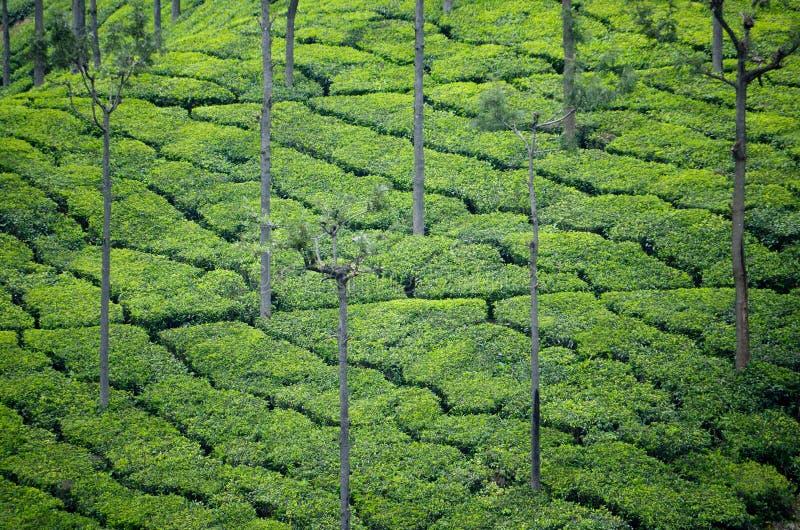 Jardines de té de Ooty foto de archivo libre de regalías