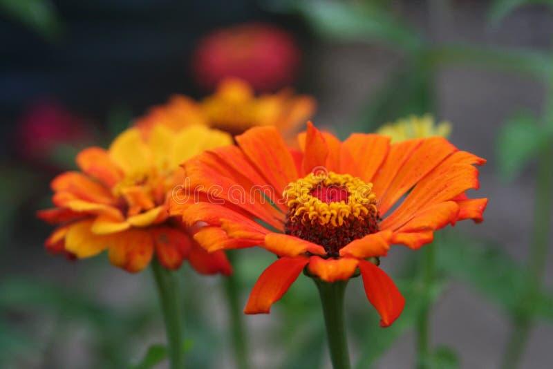 Jardines del verano del terraplén de los Zinnias con color intenso fotos de archivo