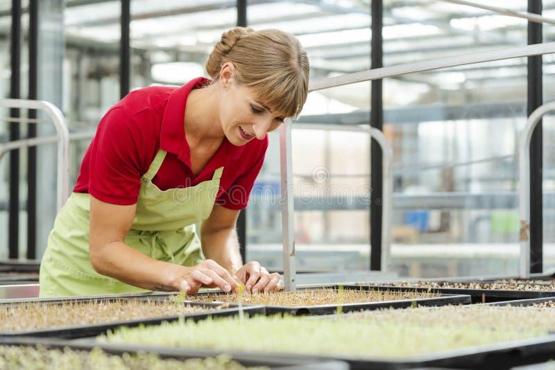 Jardinier avec des jeunes plantes de wheatgrass photographie stock libre de droits