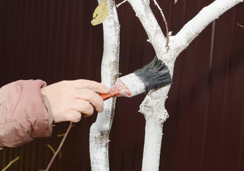 Jardinier blanchissant l'arbre fruitier L'arbre de peinture dans la couleur blanche empêche l'écorce de chauffer trop sous le sol images stock