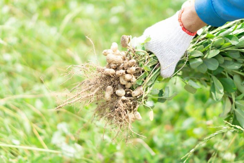 Jardinier de plan rapproché tenant l'arachide crue fraîche avec le visage heureux dans le domaine vert, foyer sélectif photographie stock