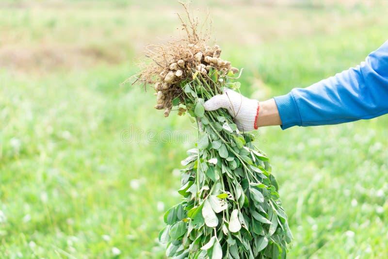 Jardinier de plan rapproch? tenant l'arachide crue fra?che avec le visage heureux dans le domaine vert, foyer s?lectif images stock