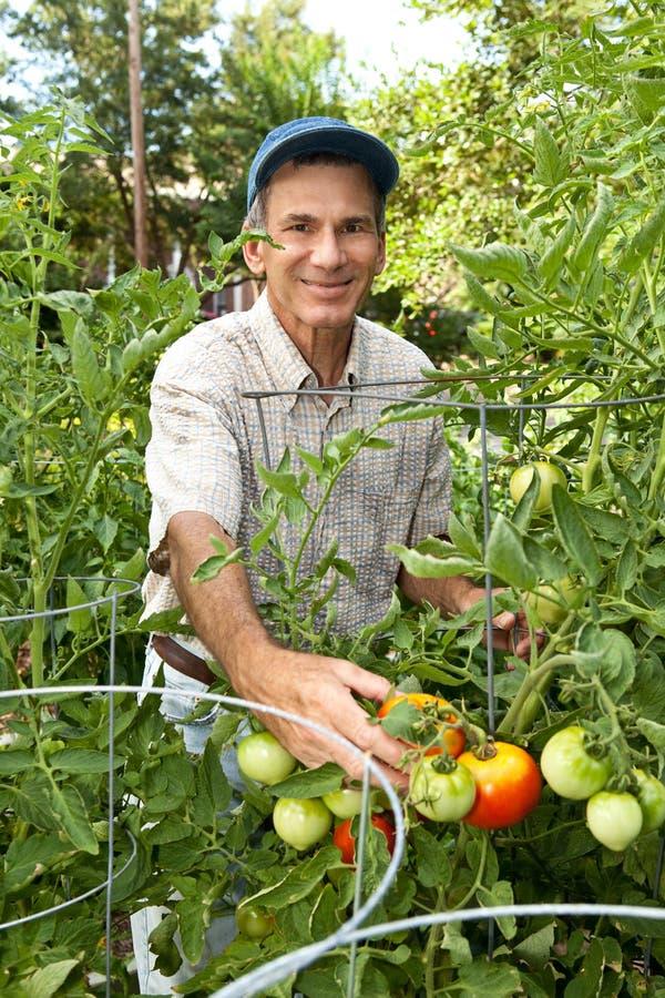 Jardinier mâle heureux moissonnant des tomates photo stock