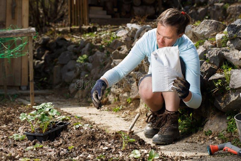 Jardinier mélangeant les granules humiques d'engrais organique avec le sol, enrichissant le sol images libres de droits