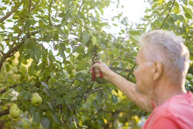 Jardinier mûr d'Eldery travaillant dans des arbres de coupe de jardin d'été photos libres de droits