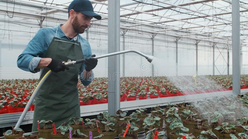 Jardinier masculin heureux Waters Plants et fleurs avec un tuyau flexible en Sunny Industrial Greenhouse photo stock