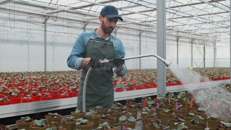 Jardinier masculin heureux Waters Plants et fleurs avec un tuyau flexible en Sunny Industrial Greenhouse images libres de droits